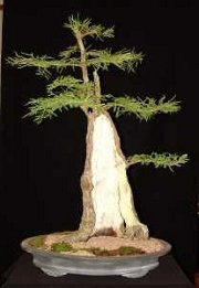 A Bald Cypress Bonsai