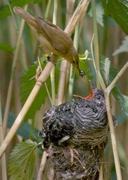 A reed warbler raising the young of a cuckoo
