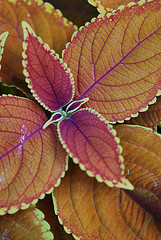 Rustic Orange Coleus with decussate leaves