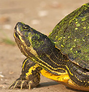 mossback turtle