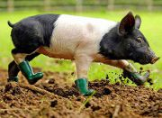 Cinders, the mysophobic piglet