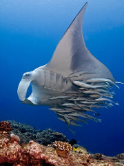 Remoras with manta ray