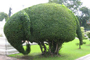 Elephant topiary, National Museum, Bangkok, Thailand
