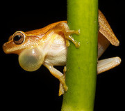 frog with a distended vocal sac
