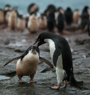 Ad�lie Penguin regurgitates krill for its chick